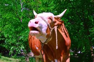Švajcarci osmislili hranu od koje krave manje podriguju