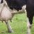 Evo zašto poštovati period zasušenja kod krava