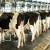 Ishrana sjenažom povećava mliječnost kod krava