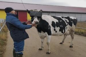 Krave koje nose VR naočare daju više kvalitetnijeg mleka