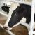 Telesna kondicija krava utiče na proizvodnju mleka, telenje i druge aktivnosti