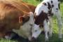 Švicarske krave šalju sms kad im je vrijeme tjeranja