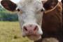 Prosječna cijena mlijeka srušila se na samo 1,95 kuna