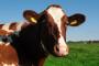 Hrvatski pediker za krave