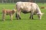 Treba im hektar zemlje po kravi