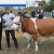 Krava Lara apsolutna šampionka na 39. Regionalnoj izložbi priplodnih grla