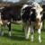 Savjeti za dobru njegu nogu kod krava