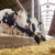 Kako hraniti krave dok su steone i nakon telenja