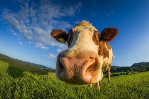 Kako se izboriti sa burnim temperamentom goveda