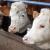 Kod kojih to farmera svakih sat vremena krava proizvede 1,52 l mlijeka?