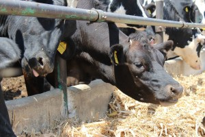 DNK analizom krava do boljih rezultata u govedarstvu
