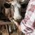 Mlečne krave: Šepavost može da košta više nego što mislite