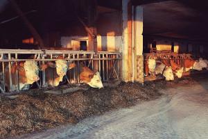 Uz posvećenost i trud do uspeha u mlečnom govedarstvu
