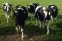 Dani otvorenih vrata na farmi muznih krava Landia