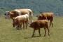 Krmne smjese za muzne krave