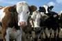 Sve neisplativija proizvodnja mlijeka
