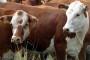 Isplata šteta proizvođačima životinja oboljelih od leukoze