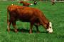 Isplata poticaja za proizvođače mlijeka svaka tri mjeseca
