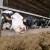 Ventilacioni sistemi pozitivno djeluju na proizvodnju mlijeka, a šta kada ih nema?