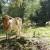 """U divljini Suve planine krave i konji slobodno pasu - vuk je """"sanitarac"""""""