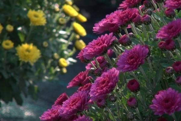 Marin Kemper: Kad uzgajate krizanteme, ako i propadate - posao cvjeta