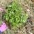 Uzgoj krompira bez obrade tla - pod slamom ili sijenom