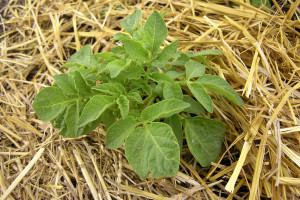 Uzgojite krumpir na starinski način - pod slamom