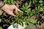 Sušenje cime i napad krumpirove zlatice