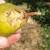 Voćna muha i ptice napadaju plodove krušaka, kako ih zaštititi?