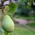 Čudo prirode: Divlja kruška kod Svilojeva stara oko tri veka