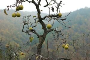 Zašto se suše mlada stabla kruške?