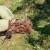 Krvava uš i osa predivica u nasadima krušaka, češnjak može pomoći
