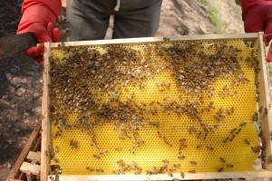 Zahvaljujući komunizmu, Kuba postala raj za pčele i pčelare