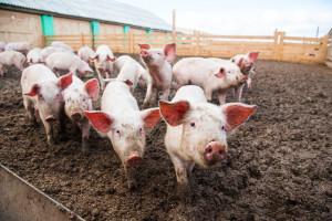 Kinezi usmrtili gotovo milion svinja zbog afričke kuge