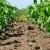 Stare sorte kukuruza zahtevale su veći razmak i danonoćni rad