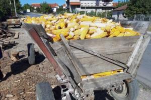 Mikotoksini u kukuruzu, berba, čuvanje i skladištenje
