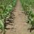 Primena herbicida posle setve a pre nicanja u usevu kukuruza, suncokreta i soje