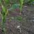 Kada treba suzbijati korove u kukuruzu - prije ili poslije nicanja?