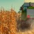 Ove godine urod kukuruza ide i do 11 t/ha, stručnjaci se slažu da je ovo bila dobra godina