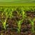 Kukuruz kultivirati poslije svake obilnije kiše