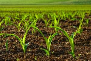Kukuruz kultivirati posle svake obilnije kiše