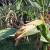 Kako pomoći kukuruzu kada se javi hloroza