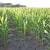 Suša loše uticala na kukuruz - kiša ga oporavila, ali prinos ipak upitan
