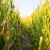 Posljedice manjka hranjivih elemenata kod kukuruza