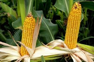 Kukuruz u dobroj kondiciji - prognozirani rod 8 miliona tona