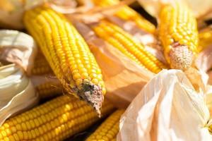 Zatišje u trgovanju pšenicom i pad cene kukuruza