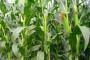 Zlatica napada kukuruz, već vidljive štete