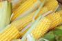 Unatoč studiji Bruxelles prešutno odobrava GMO