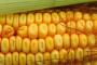 Europa ignorira studiju o štetnosti GM kukuruza