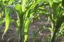 Gnojidba kukuruza u ekološkoj proizvodnji